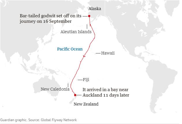 Bay liên tục 13.000 km không cần nghỉ, loài chim máy bay phản lực lập kỷ lục vô tiền khoáng hậu - Ảnh 2.