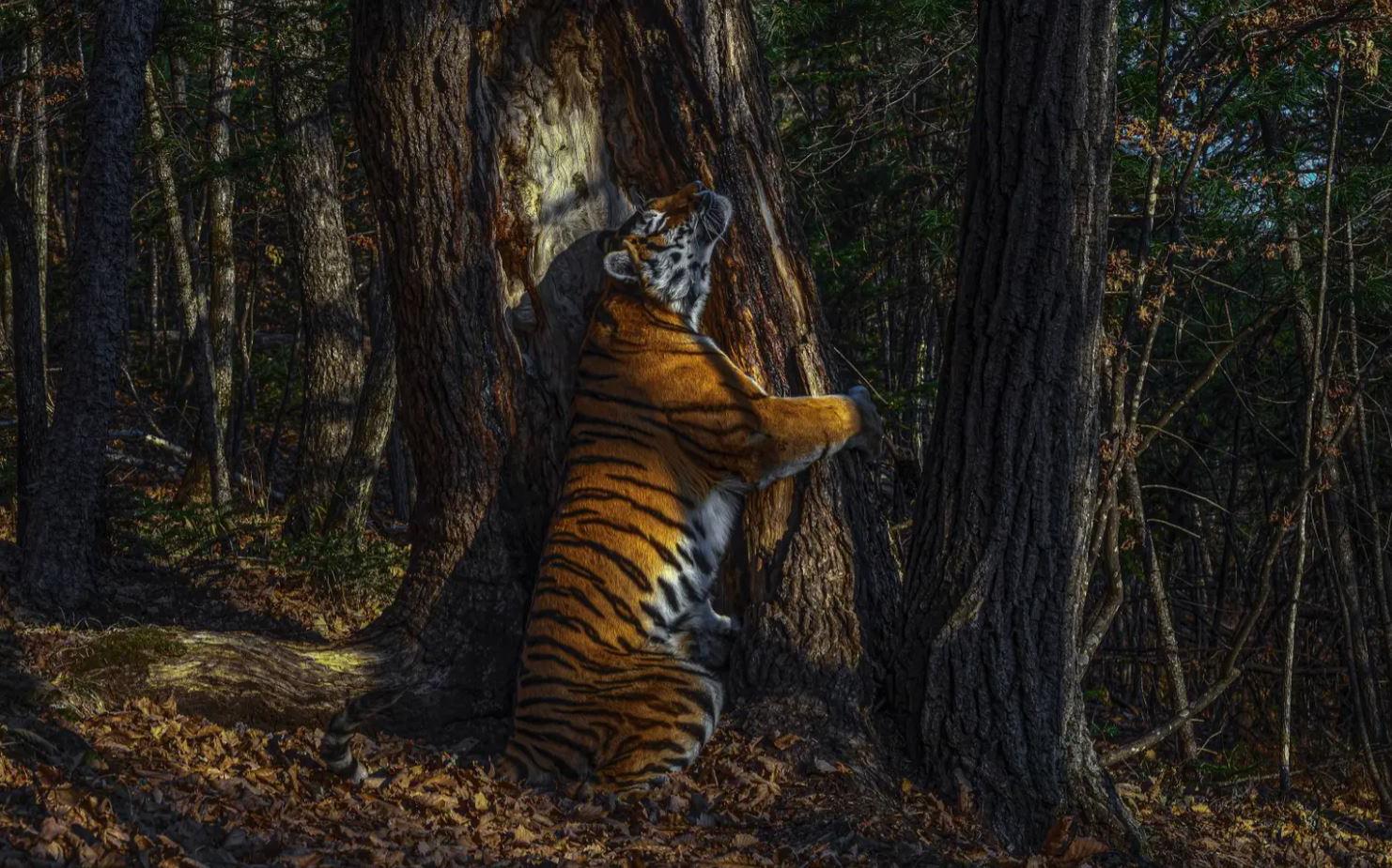 Bộ sưu tập ảnh thiên nhiên của năm: Hổ Sibera ôm cây, chú khỉ 'chill' và con kiến bám lấy bọ cánh cam