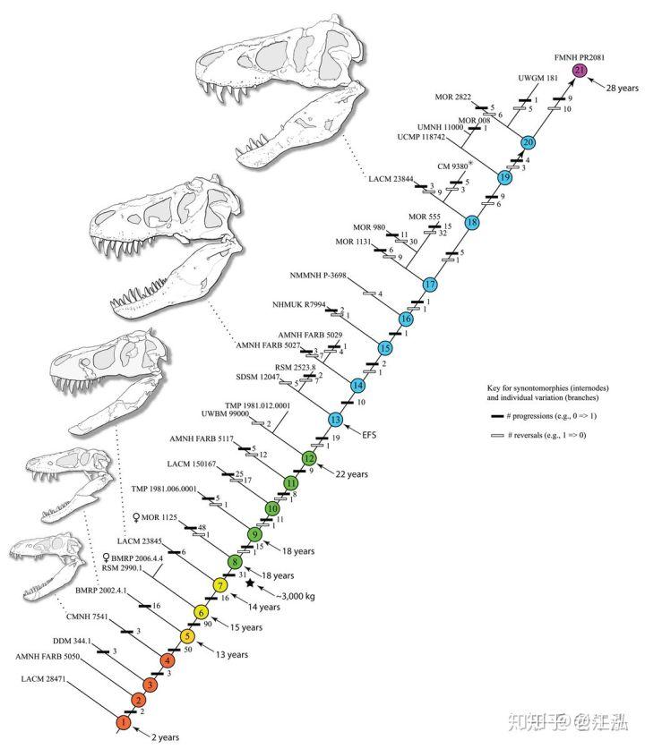 Cuộc đời của khủng long bạo chúa được chia thành 21 giai đoạn, hai trong số đó cực kỳ quan trọng và giúp chúng trở nên to lớn - Ảnh 2.