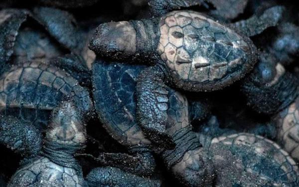 Cú lừa đỉnh cao: Khoa học chế trứng rùa giả để triệt phá một trong những loại tội phạm phổ biến và nguy hiểm nhất với thế giới động vật - Ảnh 1.