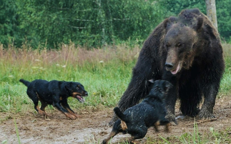 Người Đức không chỉ giỏi chế tạo máy móc mà họ còn có thể tạo ra được một loài siêu chó săn - Jagdterrier