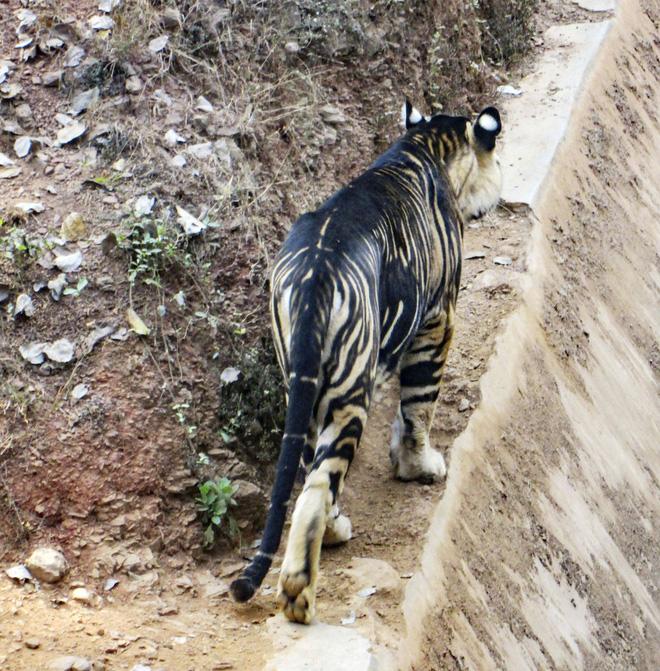 Giải mã bí ẩn hổ quỷ siêu hiếm ở Ấn Độ: Cả thế giới chỉ có 8 con! - Ảnh 1.
