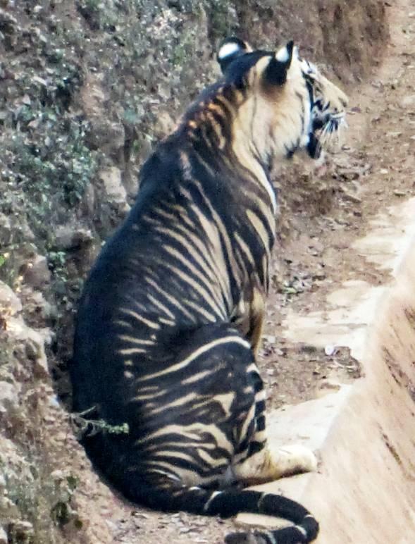 Giải mã bí ẩn hổ quỷ siêu hiếm ở Ấn Độ: Cả thế giới chỉ có 8 con! - Ảnh 2.