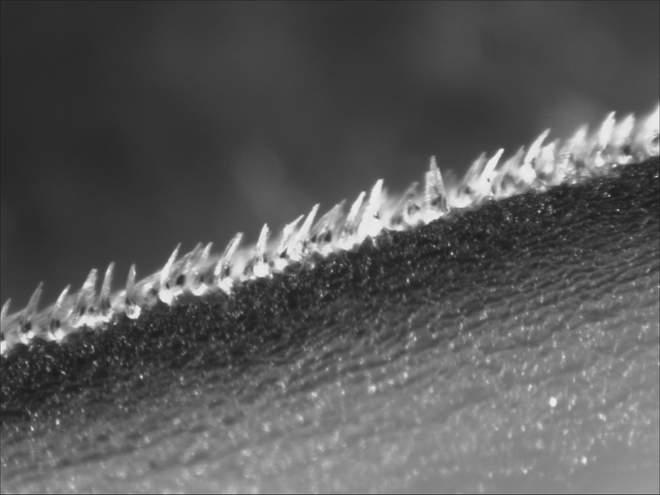 [Video] Bạn có biết da cá mập chứa đầy gai nhọn, và đó là nỗi ác mộng với mọi mầm bệnh, thậm chí cả virus corona - Ảnh 2.