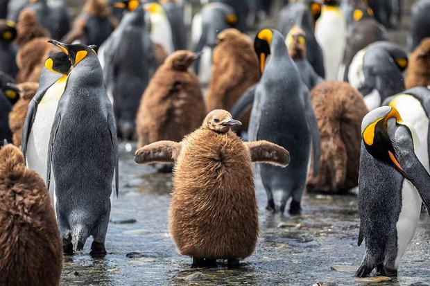 Hơn nửa triệu con chim cánh cụt hoàng đế lúc nha lúc nhúc tụ tập về lãnh địa phía nam Đại Tây Dương để bắt đầu mùa sinh sản - Ảnh 2.