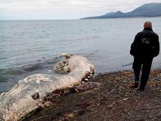 Quỷ khổng lồ Biển Bắc: Sinh vật có cùng kích thước với cá voi xanh có thể thực sự tồn tại ? - Ảnh 3.