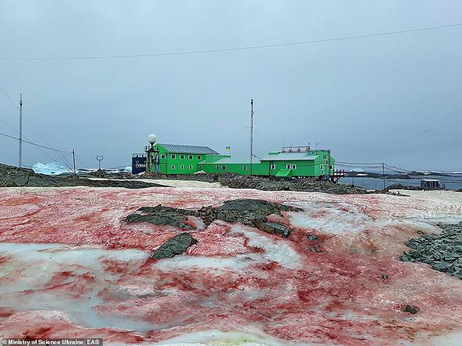Giải mã hiện tượng tuyết đỏ như máu bao phủ quanh trạm nghiên cứu ở Nam cực - Ảnh 3.