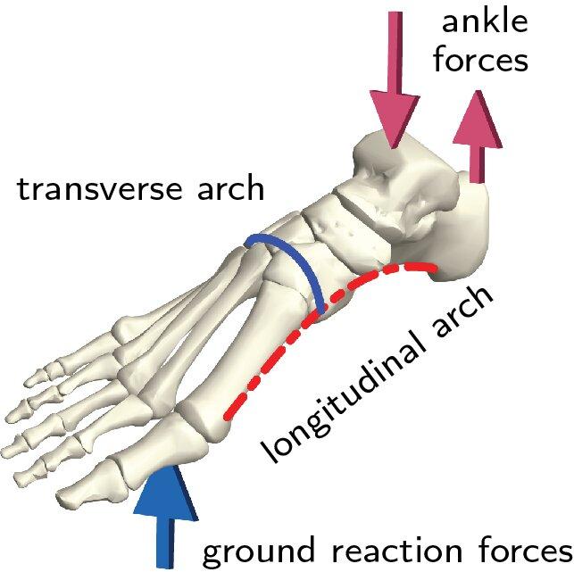 Hóa ra 100 năm khoa học đã nhầm: Chỗ lõm trên bàn chân không giúp con người đứng thẳng, mà là vòm xương ngang - Ảnh 4.