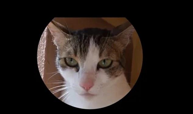 Khuôn mặt khó ở của một chú mèo, khi cảm thấy buồn nôn vì đồ ăn khó tiêu
