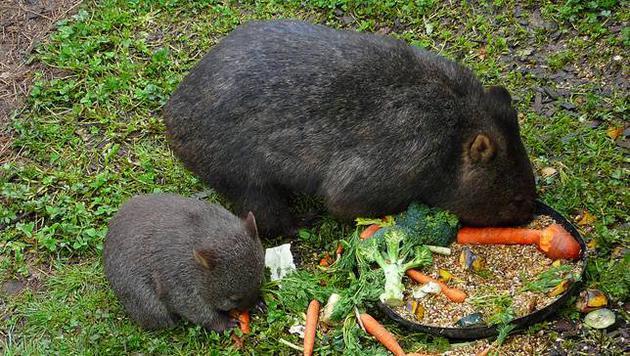 Những sự thật về loài Wombat mà không phải ai cũng biết - Ảnh 4.