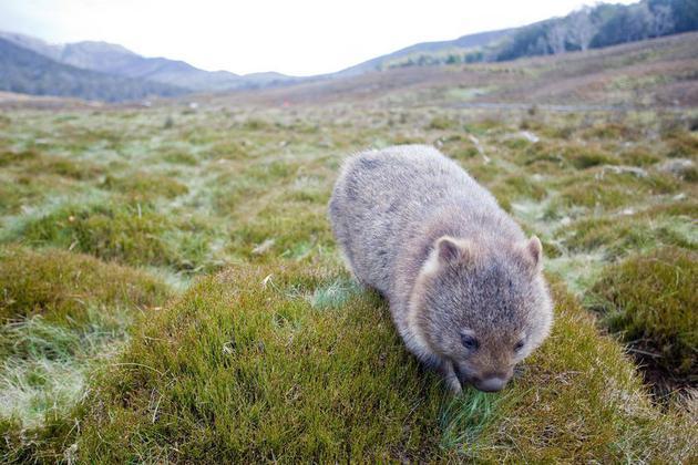 Những sự thật về loài Wombat mà không phải ai cũng biết - Ảnh 2.