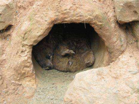 Những sự thật về loài Wombat mà không phải ai cũng biết - Ảnh 5.