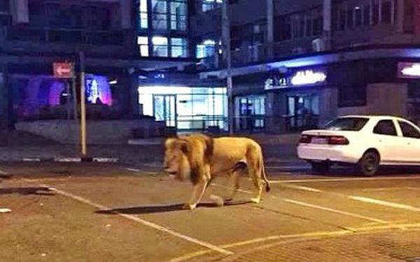 Xôn xao tin đồn Nga thả 800 con hổ và sư tử để cai quản người dân phải ở trong nhà tránh dịch Covid-19 và sự thật là gì? - Ảnh 1.