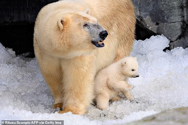 Gấu Bắc cực đang bị buộc phải ăn thịt đồng loại, do biến đổi khí hậu và con người - Ảnh 2.