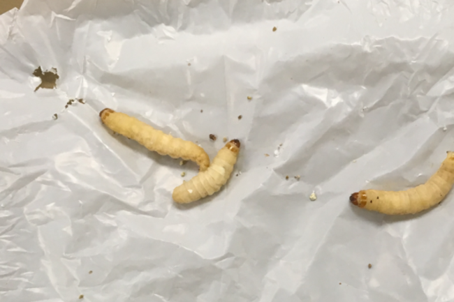 Khám phá ra cỗ máy ăn nhựa 2 trong 1: con sâu bướm cùng vi khuẩn ruột của nó tiêu hóa dễ dàng loại nhựa khó phân hủy nhất - Ảnh 3.