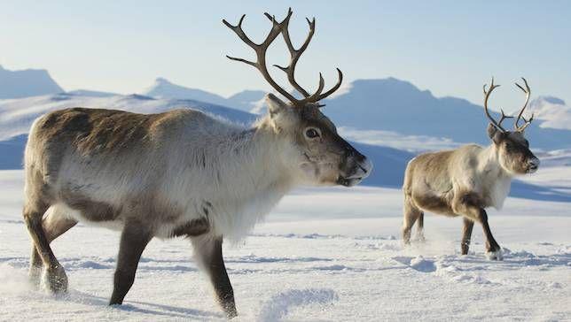 Nghiên cứu mới: Cứ thả động vật ăn cỏ chạy quanh Bắc Cực, ta sẽ cứu được băng vĩnh cửu và hạn chế biến đổi khí hậu - Ảnh 1.