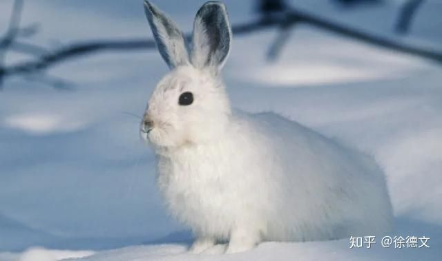 Trật tự tự nhiên sụp đổ? Camera hồng ngoại đã bí mật phát hiện ra rằng thỏ rừng đang ăn thịt - Ảnh 1.
