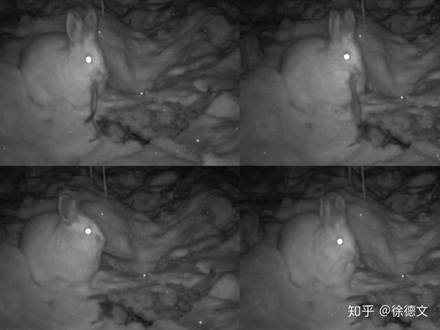 Trật tự tự nhiên sụp đổ? Camera hồng ngoại đã bí mật phát hiện ra rằng thỏ rừng đang ăn thịt - Ảnh 4.