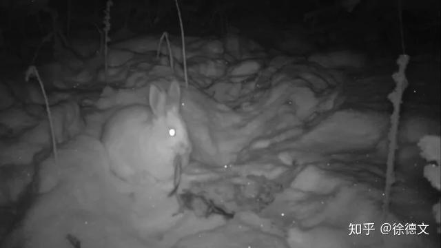 Trật tự tự nhiên sụp đổ? Camera hồng ngoại đã bí mật phát hiện ra rằng thỏ rừng đang ăn thịt - Ảnh 2.