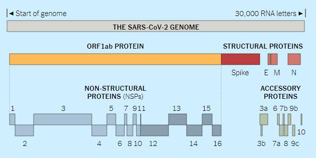 Chi tiết bộ gen SARS-CoV-2: Những tên khủng bố chiếm dụng tế bào phổi người - Ảnh 5.