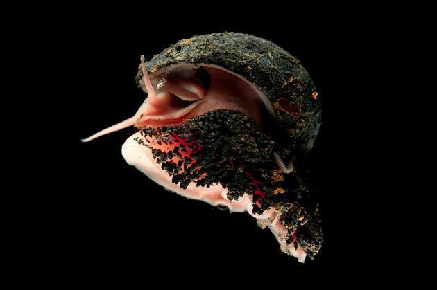 Ốc sên chân vảy: Loài động vật duy nhất trên trái đất có thể biến sắt trở thành lớp áo giáp một cách tự nhiên - Ảnh 3.