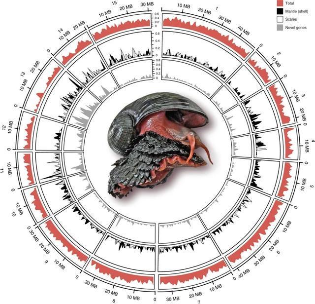 """Giáo sư Qian chia sẻ: """"Mặc dù không có gen mới nào được xác định, nghiên cứu của chúng tôi cung cấp cái nhìn sâu sắc có giá trị cho quá trình đa sinh học – một quá trình trong đó việc phân cụm, định vị và tắt và chuyển đổi một tổ hợp gen xác định hình thái của một loài. Khám phá bộ gen của ốc sên chân vảy giúp nâng cao kiến thức của chúng ta về cơ chế di truyền của động vật thân mềm, đặt nền tảng di truyền mở đường cho ứng dụng. Một hướng có thể là cách lớp áo giáp sắt của chúng chịu được những cú đánh mạnh, có thể cung cấp cho chúng ta hiểu biết về cách để làm áo giáp bảo vệ nhiều hơn. """""""