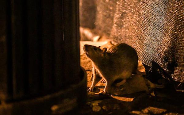 Thảm họa mới ở New York: Chuột ăn thịt đồng loại vì quá đói, cả ô tô cũng trở thành mồi nhắm - Ảnh 1.