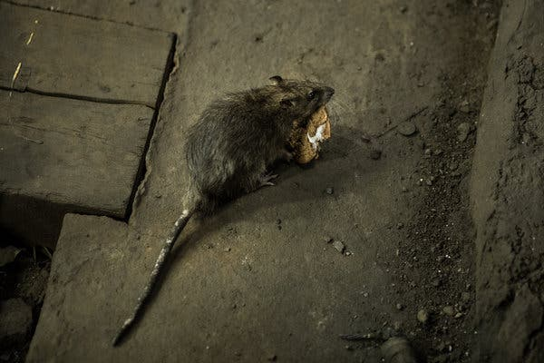 Chuột thành thị ở Mỹ đang phải ăn thịt đồng loại vì các nhà hàng đóng cửa giữa đại dịch COVID-19 - Ảnh 1.