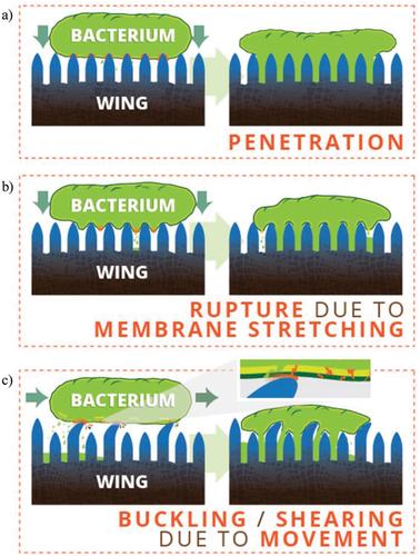 Tại sao đôi cánh mỏng manh của ve sầu lại là cơn ác mộng đối với mọi loài vi khuẩn? - Ảnh 6.