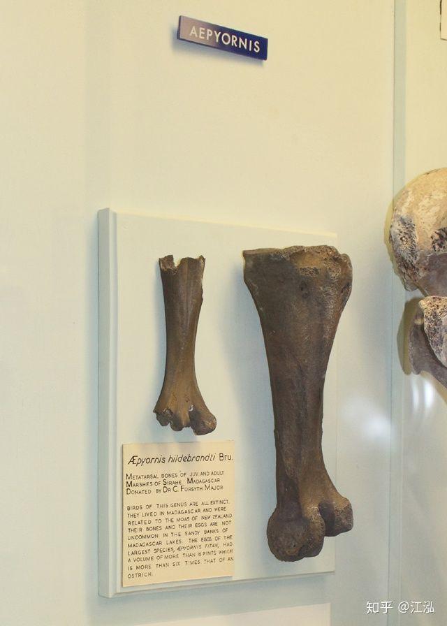 Madagascar phát hiện ra loài chim khổng lồ đầu tiên trong lịch sử có độ cao lên tới 3 mét - Ảnh 2.