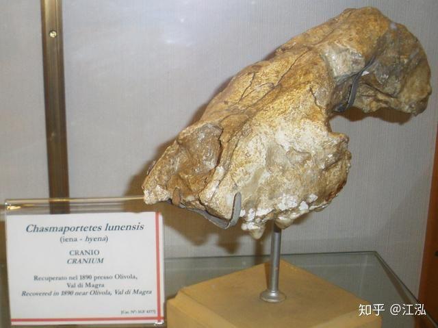 Khám phá bí ẩn của loài linh cẩu thời tiền sử, chúng đã từng sinh sống cả ở Bắc Cực - Ảnh 6.