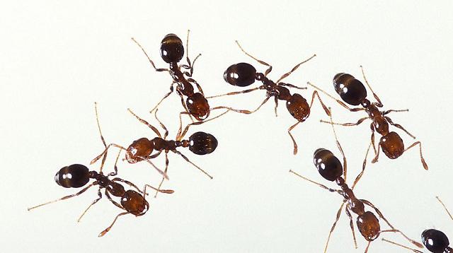 Hàng trăm con kiến lửa siêu độc được phát hiện ở cảng biển Tokyo - Ảnh 1.