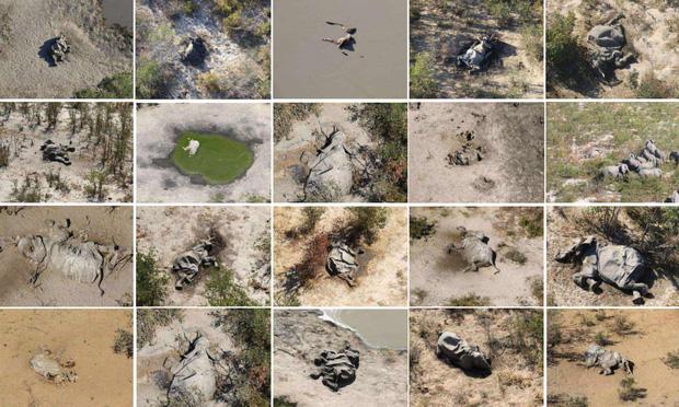Hàng trăm con voi gục chết bí ẩn, thảm họa bảo tồn chưa từng thấy khiến khoa học hoảng loạn không hiểu tại sao - Ảnh 1.