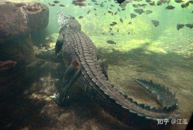 Machimosaurus rex: Loài cá sấu nước mặn to lớn nhất từng được con người phát hiện - Ảnh 9.