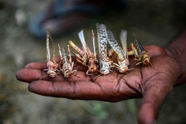 Chùm ảnh rợn người về đại dịch châu chấu đang hoành hành ở châu Phi: Binh đoàn nghìn tỷ con châu chấu với sức ăn bằng 35.000 người/ngày bay kín trời - Ảnh 17.