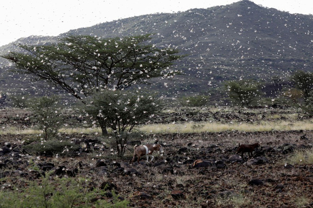 Chùm ảnh rợn người về đại dịch châu chấu đang hoành hành ở châu Phi: Binh đoàn nghìn tỷ con châu chấu với sức ăn bằng 35.000 người/ngày bay kín trời - Ảnh 23.