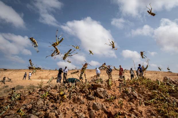 Chùm ảnh rợn người về đại dịch châu chấu đang hoành hành ở châu Phi: Binh đoàn nghìn tỷ con châu chấu với sức ăn bằng 35.000 người/ngày bay kín trời - Ảnh 6.