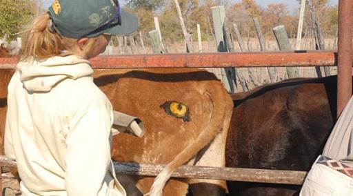 Lạ mà thật: Các nhà khoa học vẽ mắt lên mông bò để bảo vệ chúng khỏi bị sư tử tấn công - Ảnh 3.