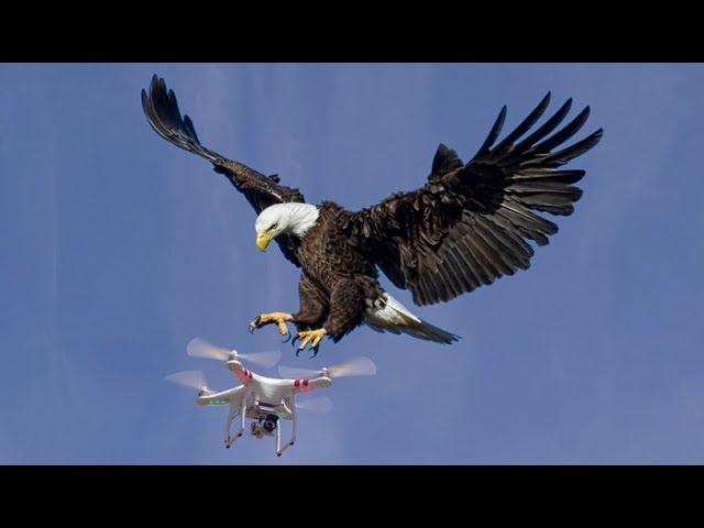 Đại chiến giữa drone nghìn đô và đại bàng đầu trắng, kẻ thua cuộc đã nằm dưới đáy hồ Michigan - Ảnh 1.