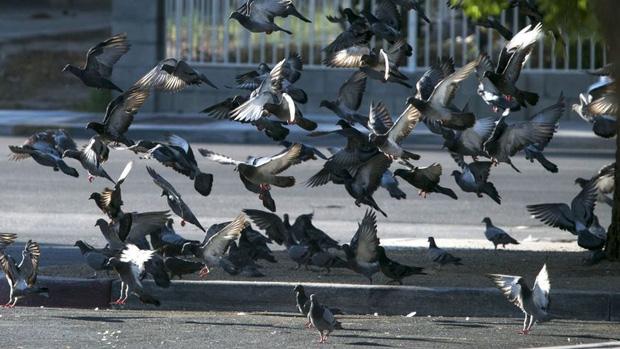 Đông đến mức không thể chịu nổi: Chim bồ câu đã xâm chiếm toàn bộ các thành phố của Mỹ như thế nào? - Ảnh 4.