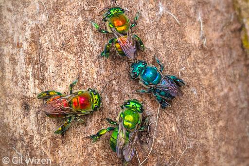 Ong phong lan, loài vật màu mè nhất trong thế giới côn trùng nhưng lại không biết làm mật - Ảnh 5.
