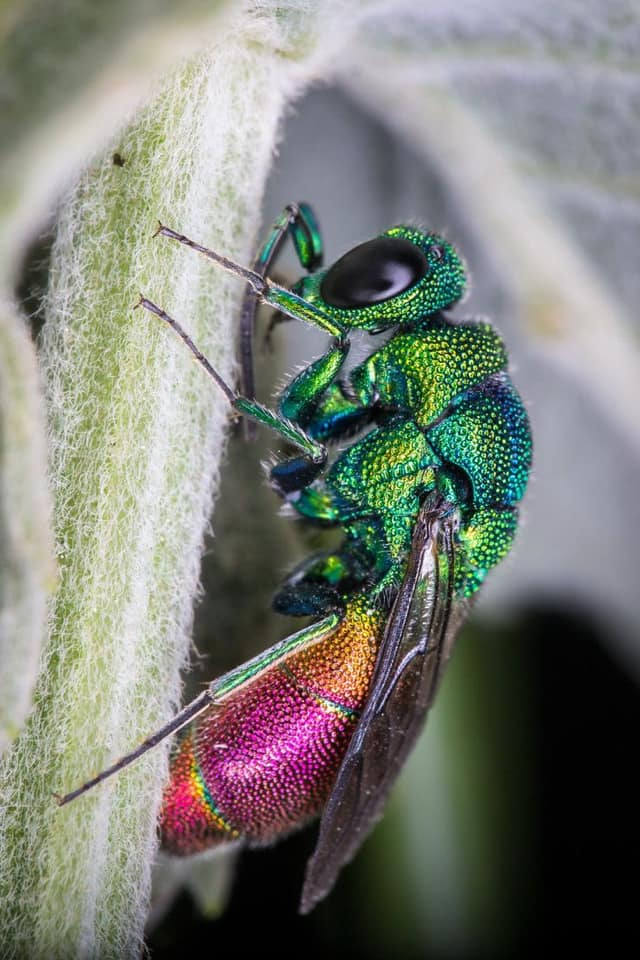 Ong phong lan, loài vật màu mè nhất trong thế giới côn trùng nhưng lại không biết làm mật - Ảnh 2.