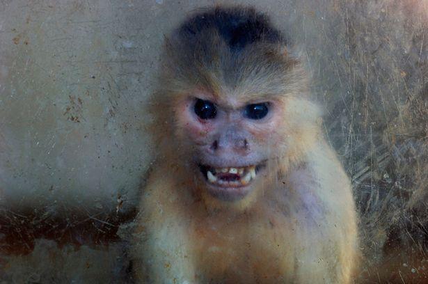 Nghiên cứu mới cho thấy loài khỉ cũng có cảm giác bất công giống như con người - Ảnh 4.