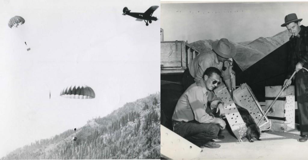 Chiến dịch thả mèo, những người lính dù đáng yêu nhất trong lịch sử được Không quân Hoàng gia Anh đích thân vận chuyển để đối phó với bệnh dịch - Ảnh 9.