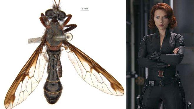 Phát hiện 5 loài ruồi sát thủ mới, đặt tên theo các siêu anh hùng trong vũ trụ điện ảnh Marvel - Ảnh 3.