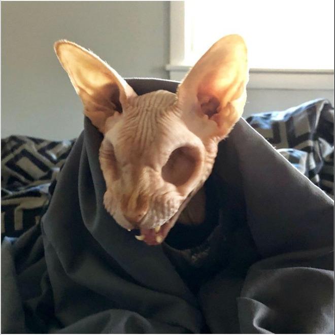 Gặp gỡ Jasper, chú mèo không lông đã bị cắt bỏ cả hai nhãn cầu với hàng chục nghìn người hâm mộ - Ảnh 3.