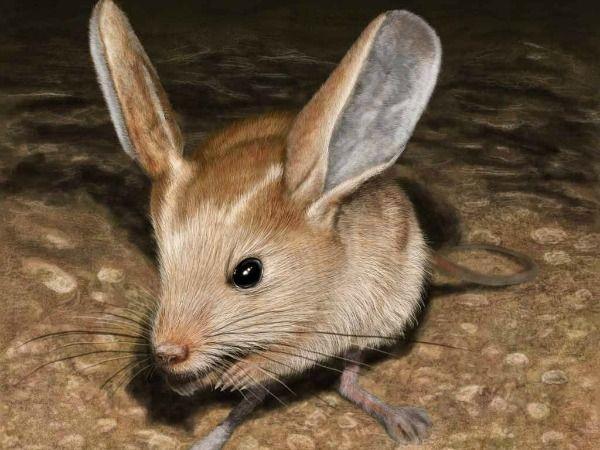 Loài vật tí hon kỳ lạ này trông giống như sự pha trộn giữa chuột, thỏ, lợn và một con chuột túi - Ảnh 5.