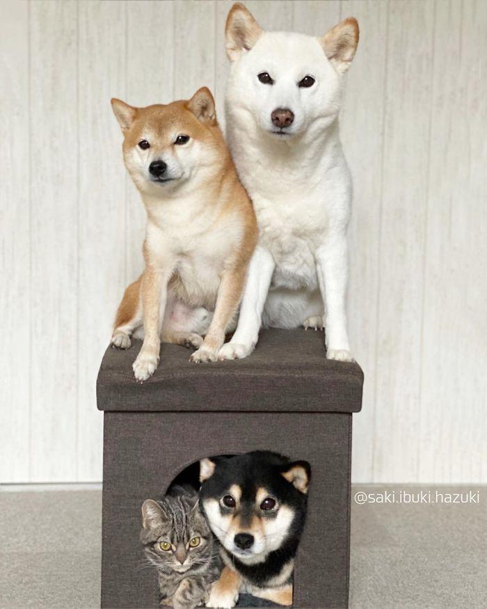 Chú mèo này là sự thay thế hoàn hảo cho chú chó Shiba inu chuyên phá hỏng các bức ảnh chụp nhóm - Ảnh 12.