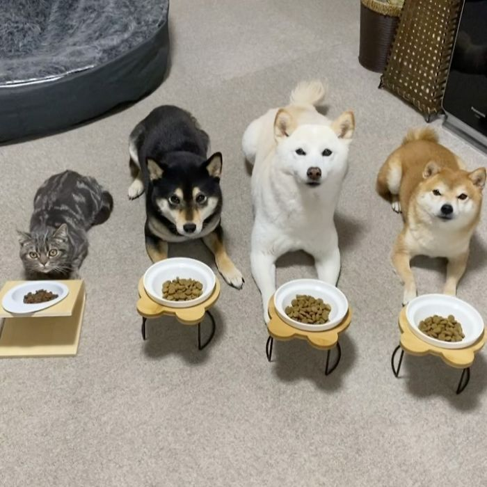 Chú mèo này là sự thay thế hoàn hảo cho chú chó Shiba inu chuyên phá hỏng các bức ảnh chụp nhóm - Ảnh 6.