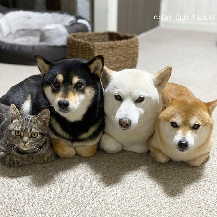 Chú mèo này là sự thay thế hoàn hảo cho chú chó Shiba inu chuyên phá hỏng các bức ảnh chụp nhóm - Ảnh 1.